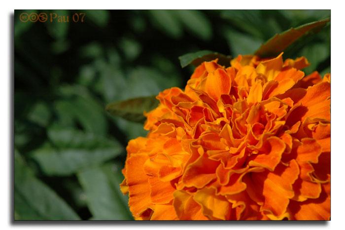 2007-09-09-123244-flor-taronja.jpg