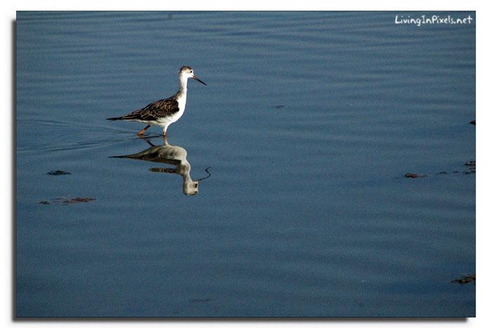 Pájaro reflejo